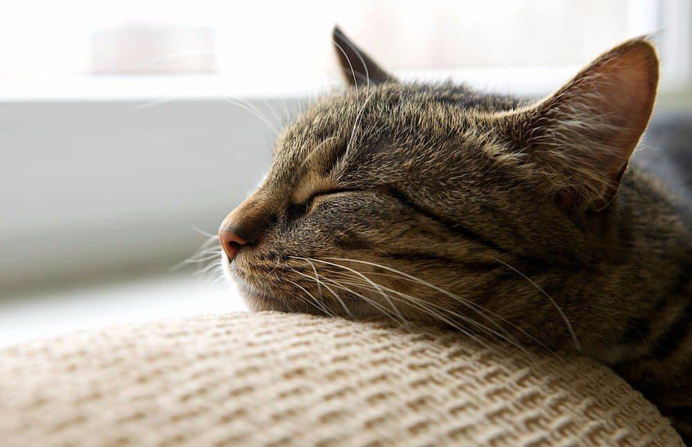 Katzen verbringen den Grossteil des Tages dösend oder schlafend (Bild: © Renata Apanaviciene - shutterstock.com)