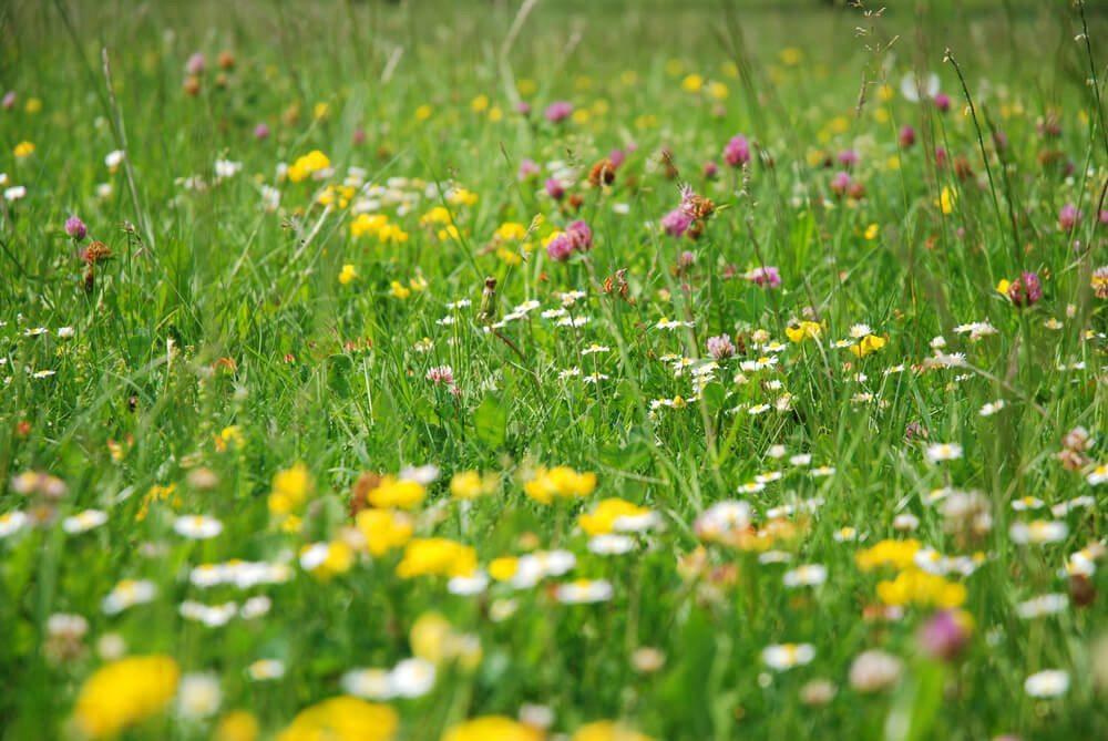 Ob Zier- oder Wildrassen - die Formenvielfalt des Rasens ist gross. (Bild: © Tomas Smolek - shutterstock.com)