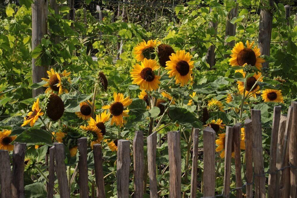 Die Sonnenblumen lieben die Sonne und gehören daher an einen sehr sonnigen Platz. (Bild: © Martina Berg - fotolia.com)