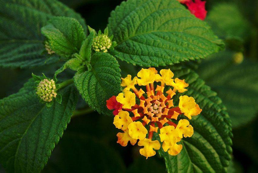 In der Regel sind die hübschen Röschen zunächst gelb und färben sich im Laufe der Zeit rot. (Bild: Alvesgaspar, Wikimedia, GNU)