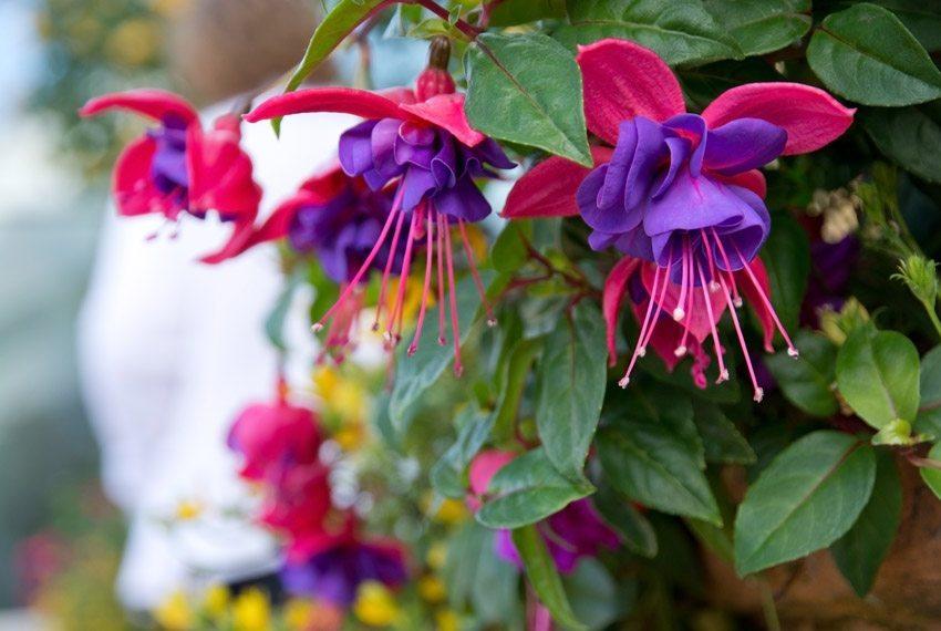 Fuchsien sind beliebte Balkonpflanzen. (Bild: artesiawells – fotolia.com)