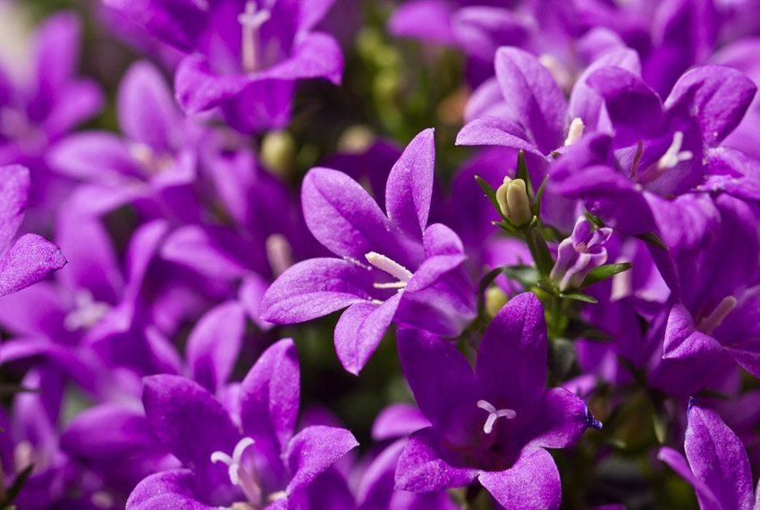 In der Regel blühen die Glockenblumen lila. (Bild: R_Szatkowski – shutterstock.com)