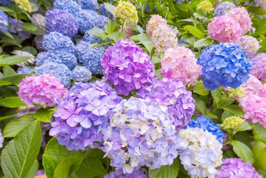 Es gibt Hortensiensorten, die auf einem Balkon gut wachsen. (Bild: IZO – shutterstock.com)