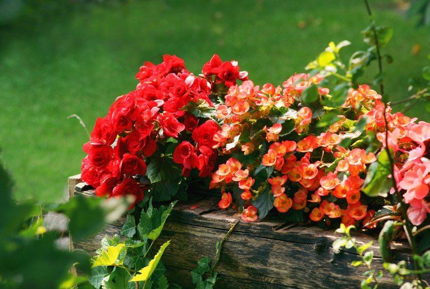 Begonien sind ein Hit auf einem schattigen Balkon. (Bild: 7monarda – fotolia.com)