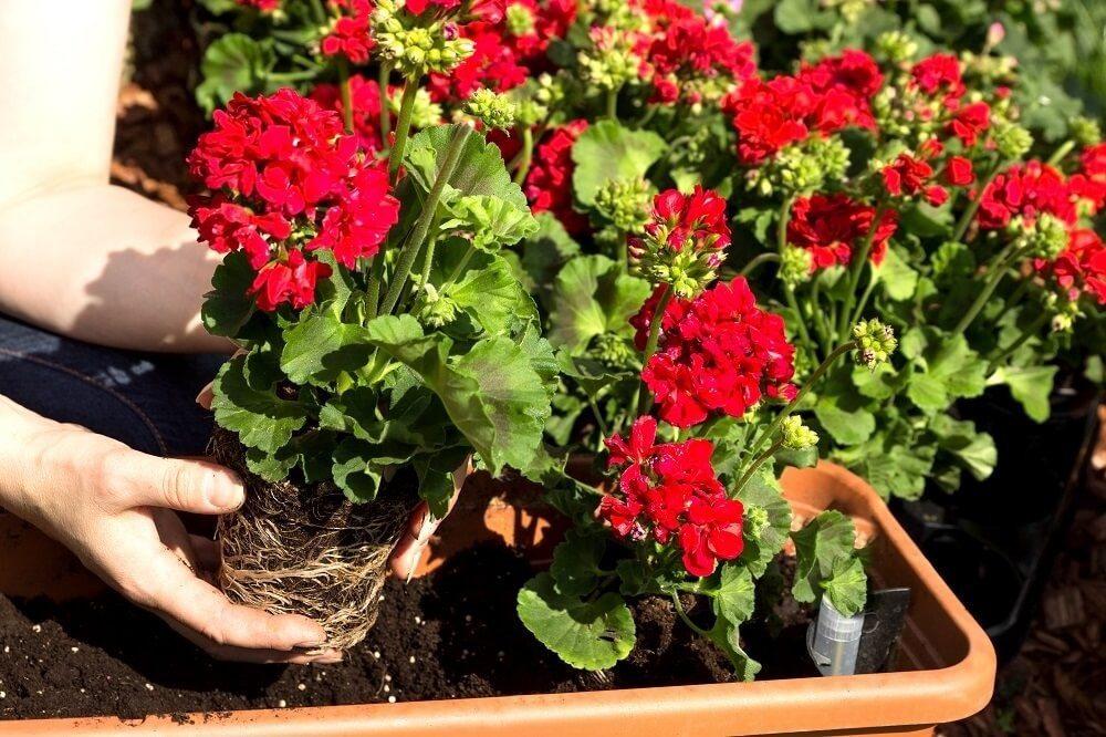 Die Geranie sind die idealen Pflanze für einen Balkonkasten. (Bild: © tibanna79 - fotolia.com)