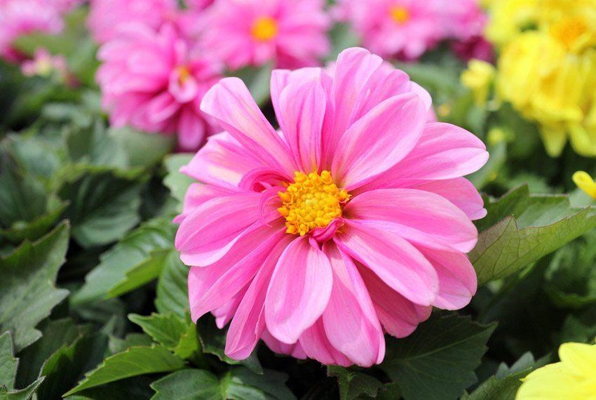 Dahlien kommen auch mit einem halbschattigen Plätzchen gut zurecht. (Bild: AN NGUYEN – shutterstock.com)