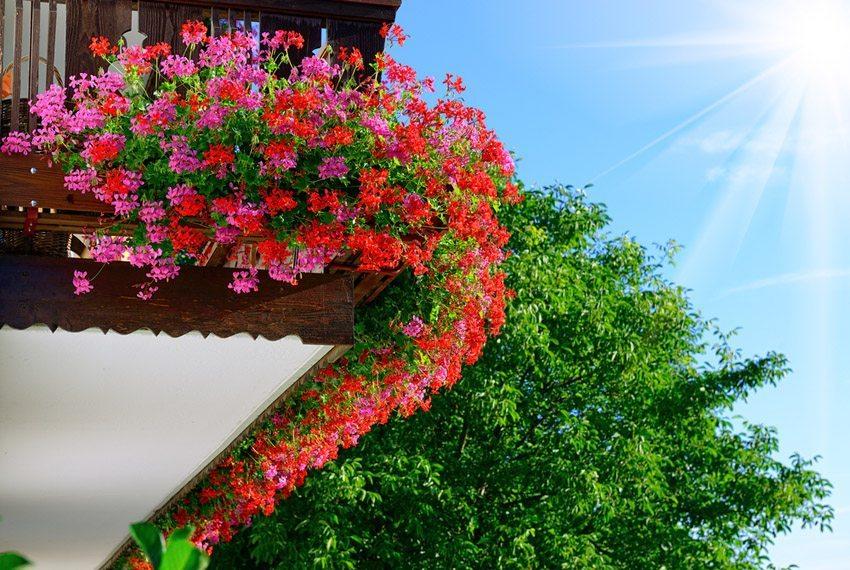 Perfekt für den Sonnenbalkon ist die Geranie geeignet. (Bild: Yuriy Chertok – shutterstock.com)