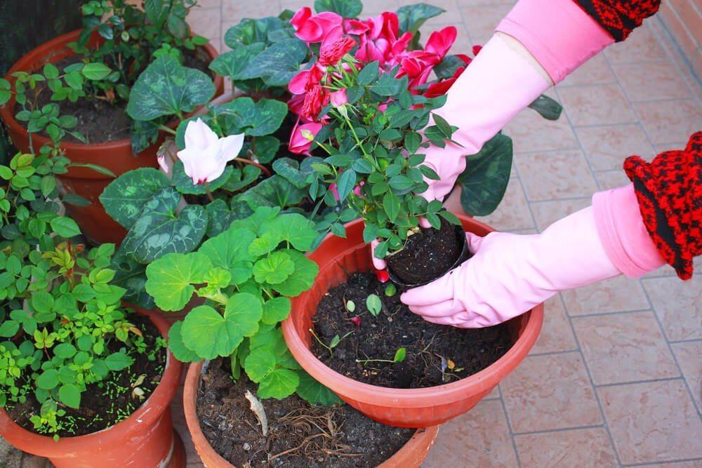 Haben Sie Geranien im Pflanzencenter gekauft, sollten Sie sie möglichst noch am selben Tag einpflanzen.(Bild: © geniuscook_com - shutterstock.com)