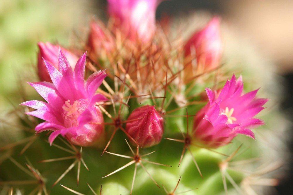 Kakteen danken die perfekte Behandlung in der Regel mit einigen Blüten. (Bild: © Philippe CHASSAING - fotolia.com)
