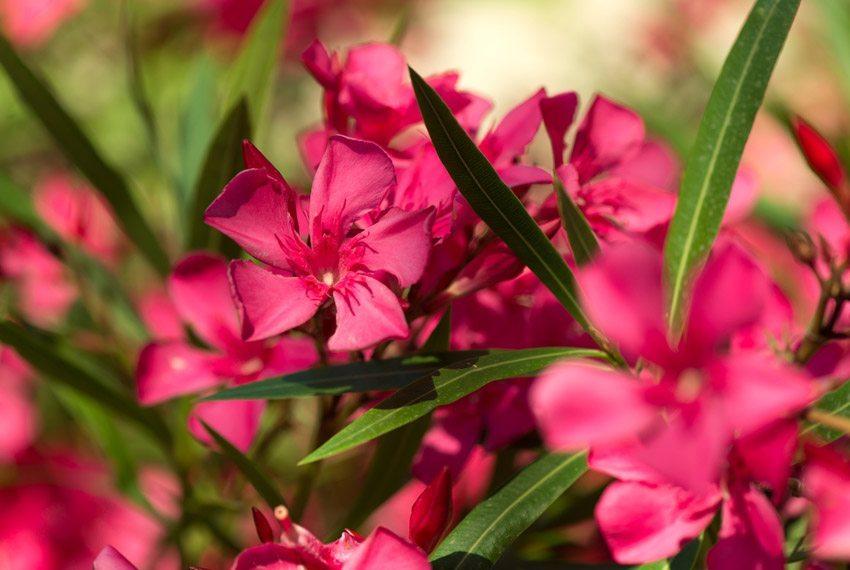 Oleander fühlen sich auf einem Südbalkon sehr wohl. (Bild: Cyrustr – shutterstock.com)