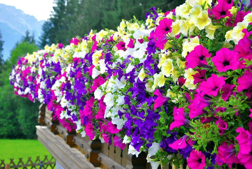 Petunien sind Klassiker unter den Balkonblumen. (Bild: Tadeas – shutterstock.com)