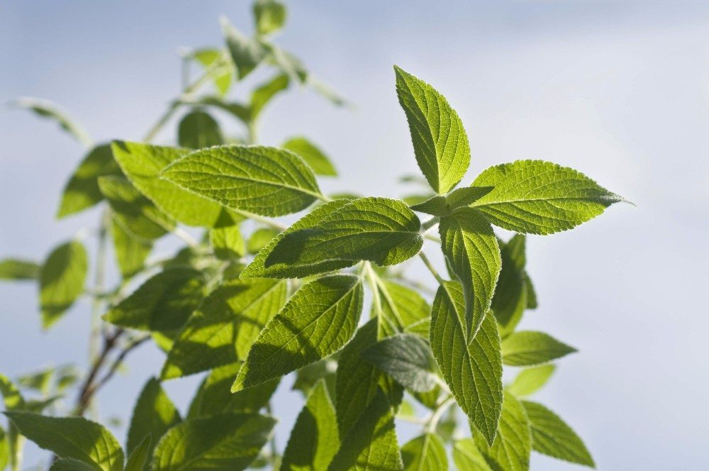 Ananassalbei wächst sehr schnell und blüht spät im Jahr (Bild: © groisboeck - fotolia.com)