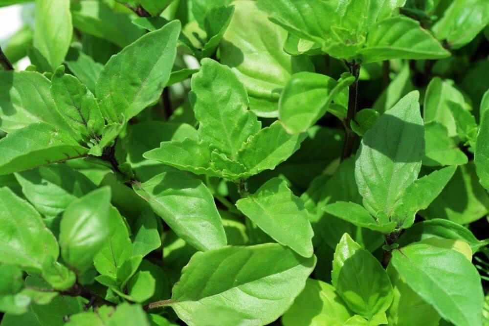 Intensives Aroma und einfach zu kultivieren - Zimtbasilikum (Bild: © irabel8 - shutterstock.com)
