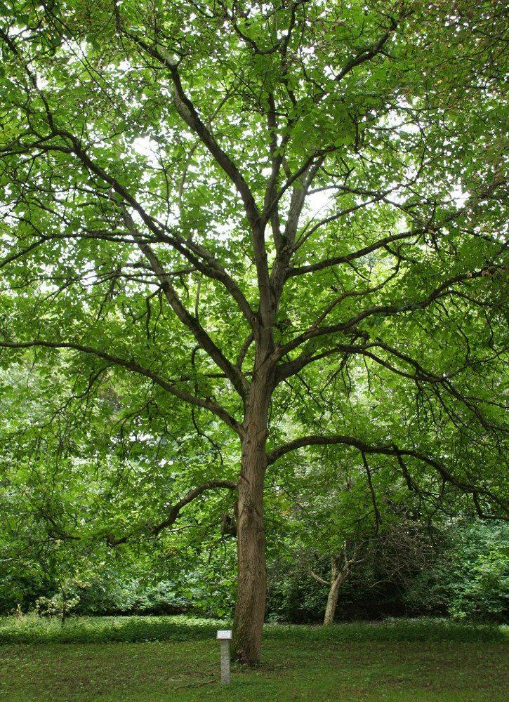 Walnussbaum (Bild: HDH)