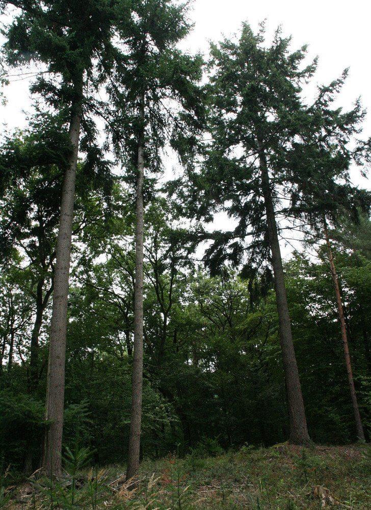 Die Douglasie ist ursprünglich in Nordamerika beheimatet. (Bild: HDH)