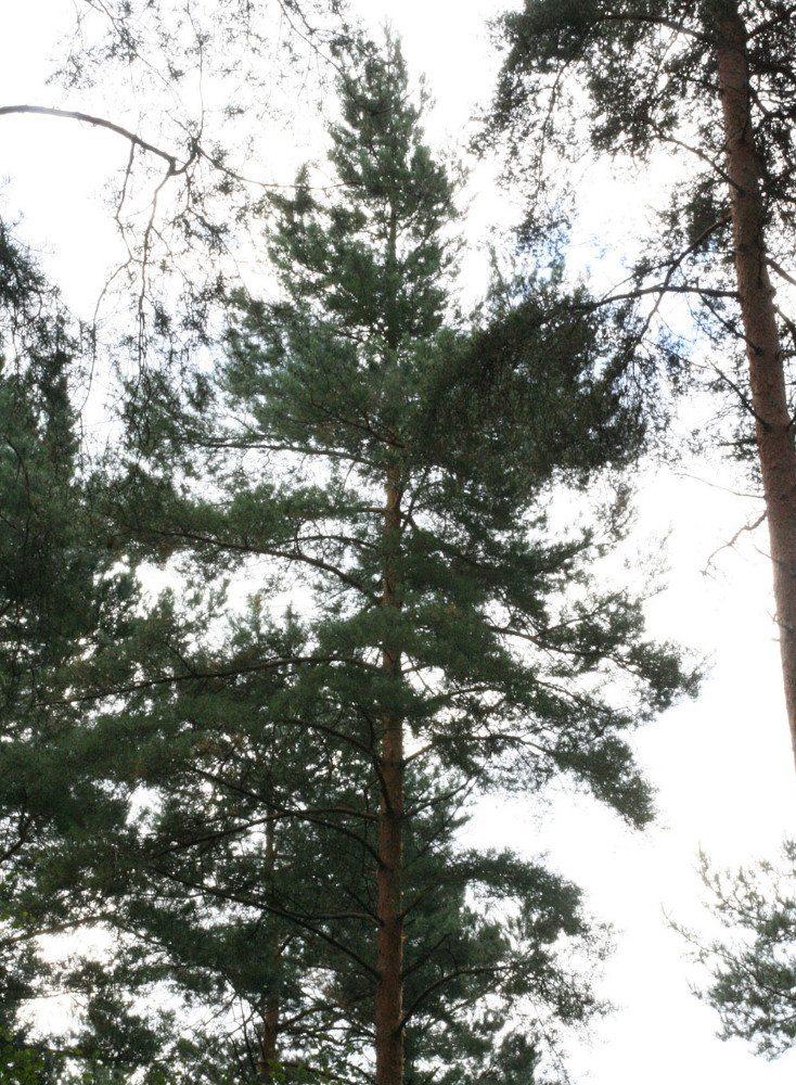 Wald-Kiefer (Bild: HDH)