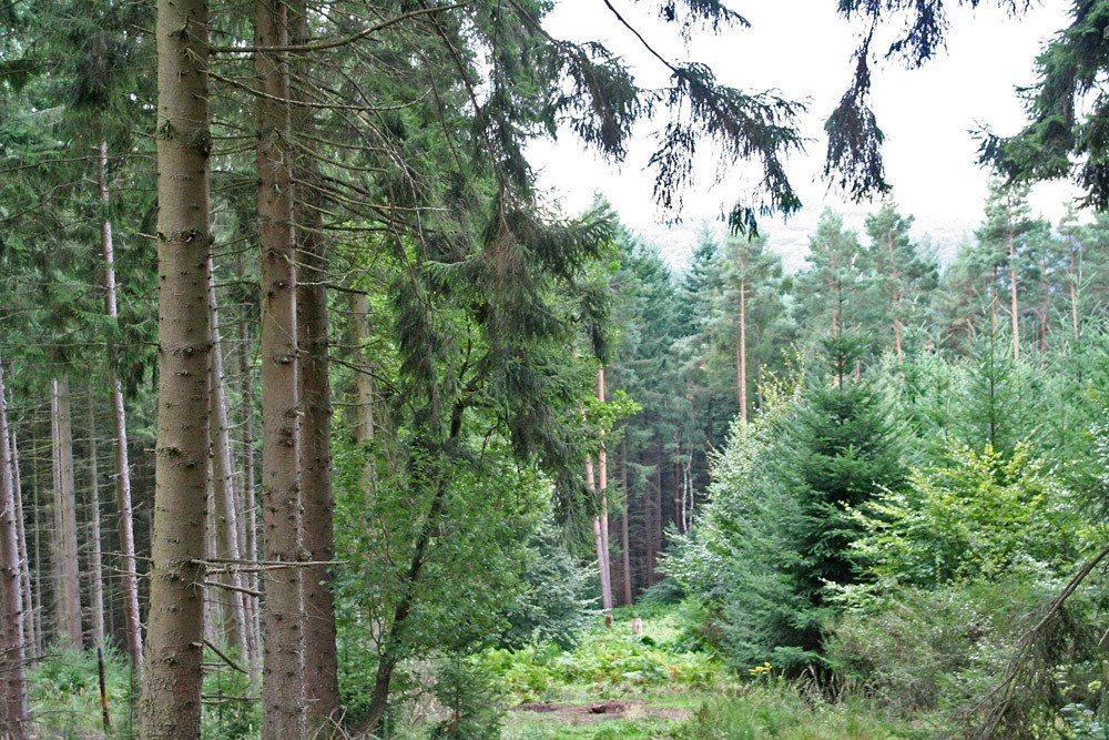 Verwendung findet die Fichte (links) gerade im Bau-, Konstruktions- und Möbelholzsektor. (Bild: HDH)