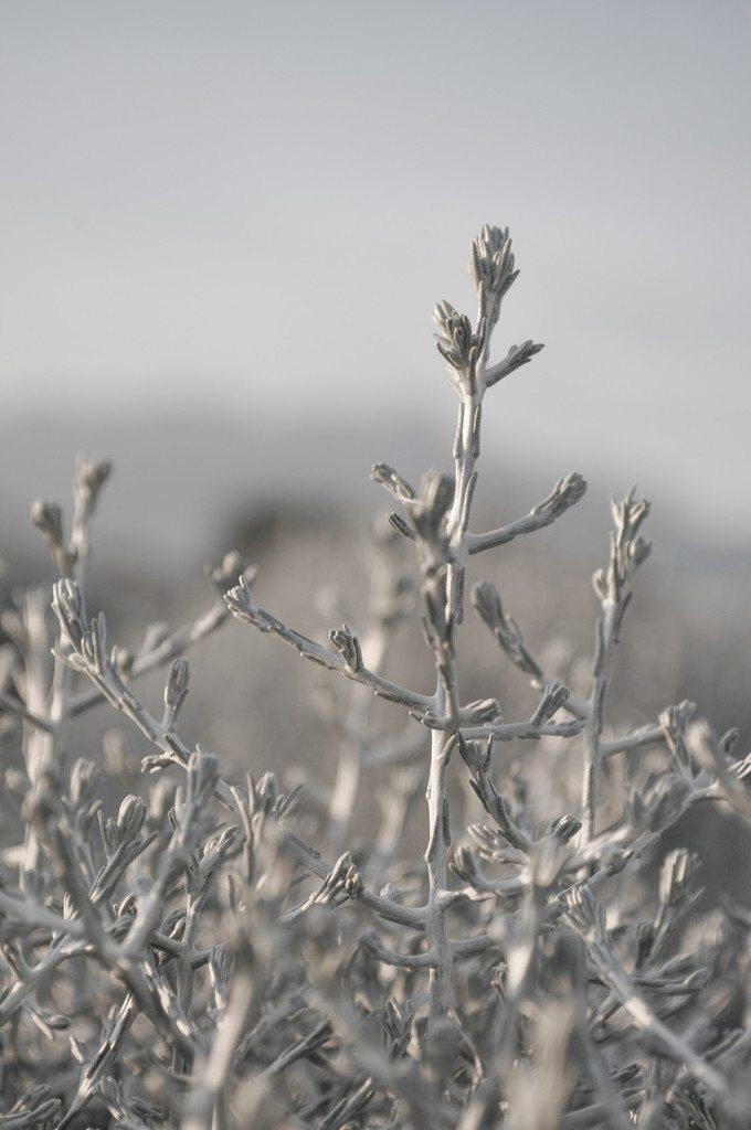 Aus der Nähe betrachtet offenbart sich erst der sonderbare Wuchs des Silberkopfs (Calocephalus). (Bild: © Picturegarden   Rohner)