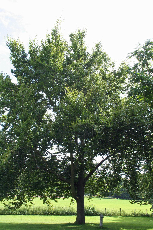 Die Suche nach dem richtigen Furnierbaum ist schwierig. (Bild: IFN)