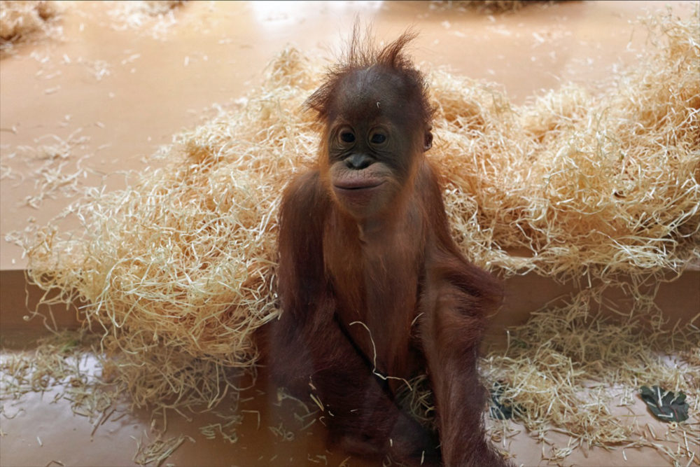 Ein Bewohner des Affenhauses verfolgt die Bauarbeiten.